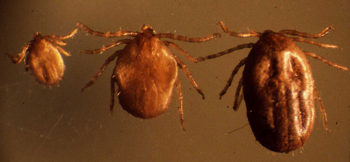 Noticia da Recolha de Exemplares do Ixodes (Eschatocephalus) vespertilionis