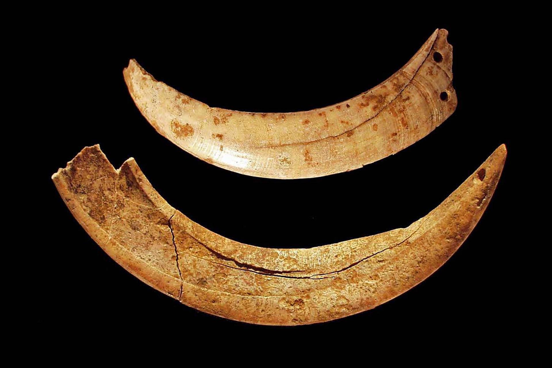 Os Dentes de Javali Afeiçoados da Cova da Presa, em Ribamar ( Lourinhã)